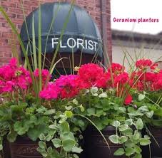 blooming plants geranium planters blooming plants in chatham nj sunnywoods florist