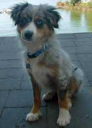 australian shepherd with blue eyes blue the australian shepherd puppies daily puppy