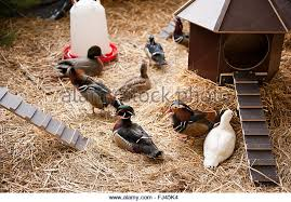 ornamental duck breed stock photos ornamental duck breed stock