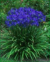 30 best agapanthus images on pinterest gardens flowers and