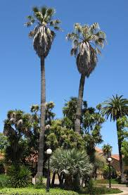 mexican fan palm growth rate washingtonia filifera california fan palm the best choice for a