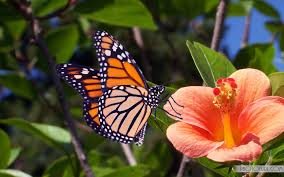 butterfly 777016 full hd widescreen wallpapers for desktop download