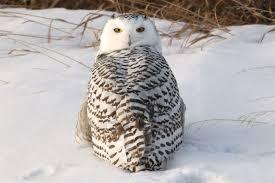 snowy owl by kaptive8 on deviantart
