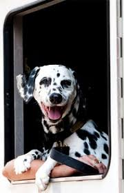 dalmatian dog breed information pictures characteristics u0026 facts