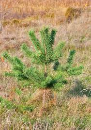 lonely small pine tree stock image image of green forest 35647323