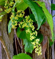 Poisonous Garden Flowers by Poison Ivy Flowers New Hampshire Garden Solutions