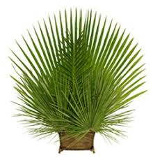 palm sunday palms for sale fresh palms