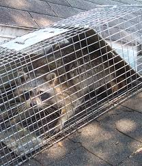 How To Get Rid Of Raccoons In Backyard How To Get Rid Of Raccoon Steps And Tips