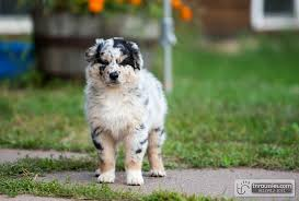 australian shepherd breeders near me t u0026 r australian shepherds home facebook