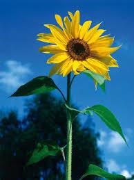foto wallpaper bunga matahari 144 best flowers images on pinterest sunflowers bellis perennis