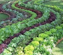 ornamental edibles légumes ornementaux labyrinth