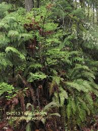 native plants in tropical rainforest native plants 101 western sword fern taylor gardens