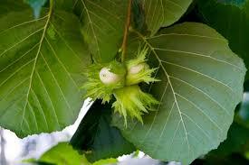 hardy nut trees what nut trees grow in zone 6 regions