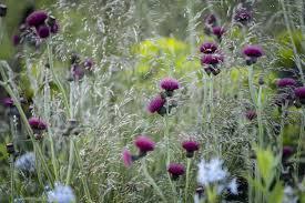 cirsium rivulare atropurpureum gardenersworld