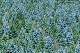 christmas christmas tree farms near me wfm local christmas tree