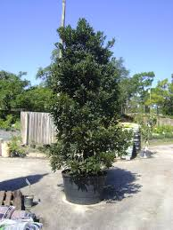 buy japanese blueberry trees for sale in orlando kissimmee