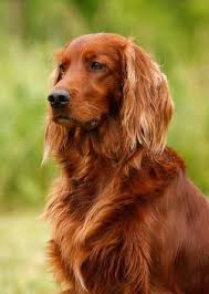 irish setter male dog names celtic dog names for irish setters wolfhounds or any breed