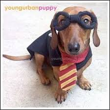 Halloween Costumes Miniature Dachshunds Superdog Photo Contest U0026 Dachshund Halloween Costumes