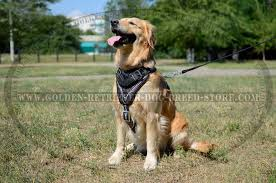 stylish leather golden retriever harness with barbed wire drawing