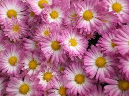 free autumn flowers stock photo freeimages com