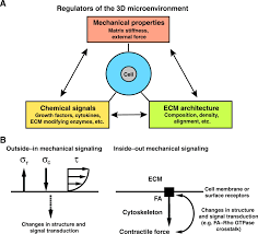 mechanical signaling through the cytoskeleton regulates cell