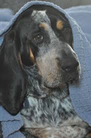 bluetick coonhound apparel 117 best bluetick coonhound images on pinterest bluetick