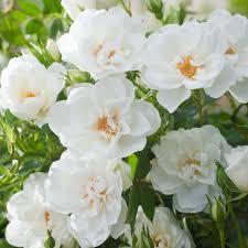 rosa white star harquill climbing rose dobbies garden centres