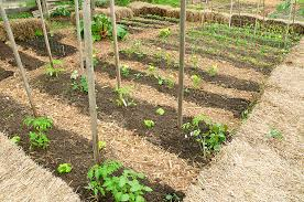 vegetable crop rotation harvest to table