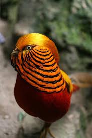 38 best pheasants golden pheasant images on pinterest pheasant