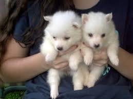american eskimo dog dallas dog whisperer leash reactivity tips for potty training kittens