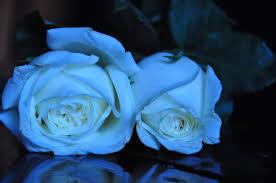white and blue roses white blue stock by starscoldnight on deviantart