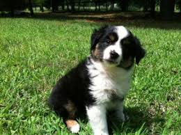 australian shepherd miniature miniature australian shepherd puppies for sale