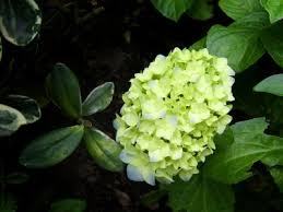 flower hydrangea green hydrangea flowers why do hydrangea bloom green