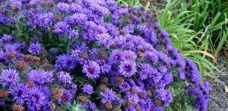 ten fall perennial flower garden favorites today u0027s homeowner