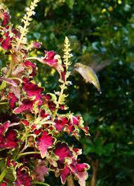 using georgia native plants hummingbird favorites in my garden hummingbird forest garden