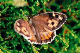 grayling butterfly wikipedia