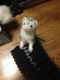 276 best ferret images on pinterest animals funny ferrets and