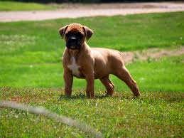 boxer dog 2015 boxer my doggy rocks