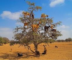 46 best goats in trees images on goats a tree and
