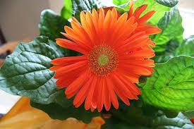 gerbera daisies gerbera gerbera jamesonii 15 houseplants for improving
