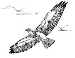 file black white art drawing swainson hawk bird