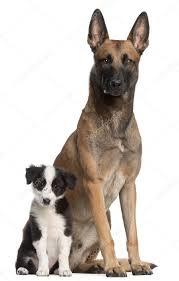 australian shepherd 3 mesi cane da pastore belga 2 anni e il cucciolo di border collie 3