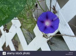 purple morning glory blossom on a trellis stock photo royalty
