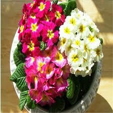 Beautiful Indoor Plants 2017 Latest Beautiful Flower Seeds Beautiful Faery Harbinger Seeds