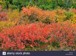 tundra native plants tundra shrubs with autumn colour along the shore of ennadai lake