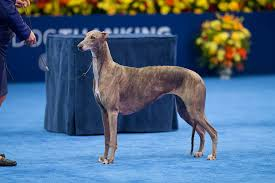 Dog Show Thanksgiving Day 2016 National Dog Show Best In Show Winner Gia The Greyhound