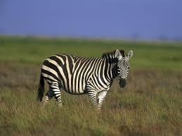 zebra wallpaper animals town