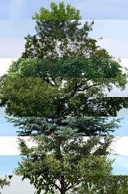 longmont s top ten most common trees longmont times call
