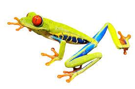 free photo eye frog eyed tree frog free image on