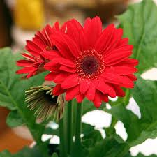 gerbera plant buy gerbera plant online at nursery live best plants at